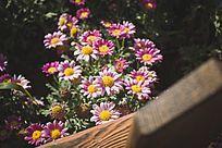 阳光下的紫色雏菊花