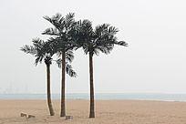 海边的椰树