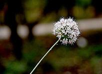 白色的绒球花