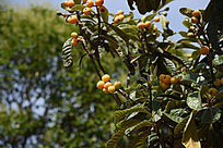 枇杷树和枇杷果