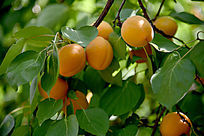 树枝上黄色的杏