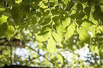 阳光下的葱翠树叶