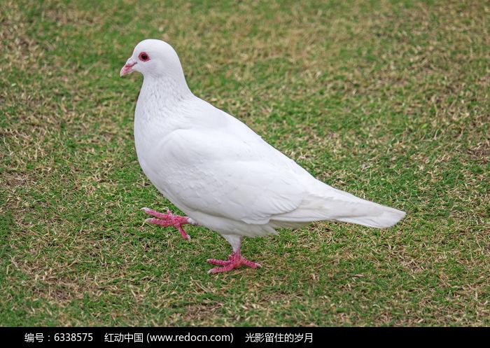 白鸽三年级歌谱