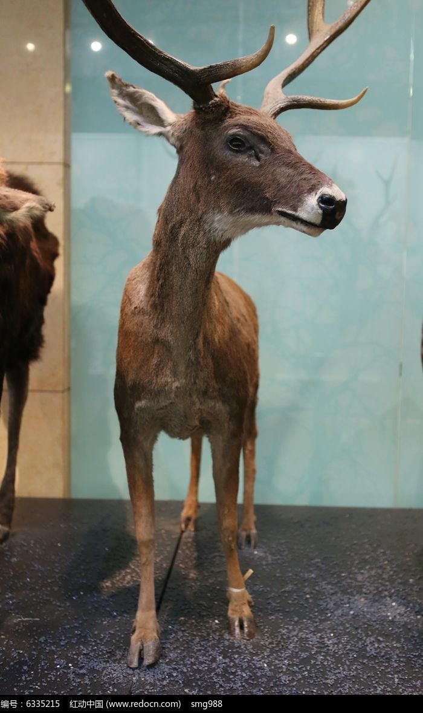濒危动物白唇鹿标本图片,高清大图_陆地动物素材