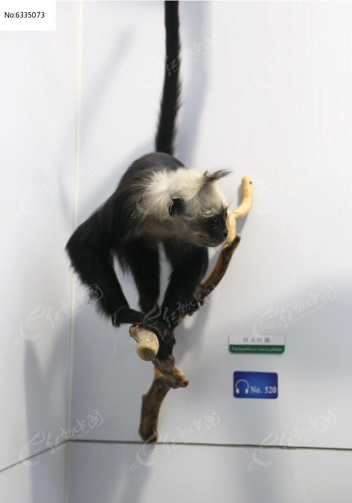 濒危动物白头叶猴标本图片