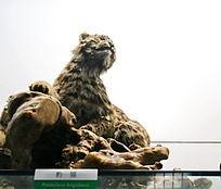 濒危动物豹猫标本