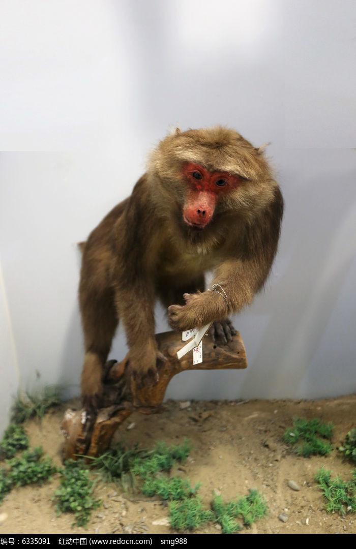 濒危动物藏酋猴标本图片,高清大图_陆地动物素材