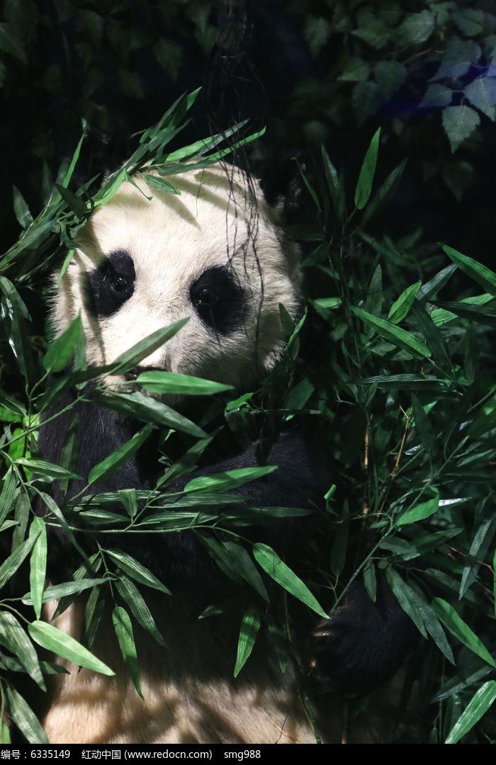 濒危动物大熊猫标本高清图片下载(编号6335149)_红动网