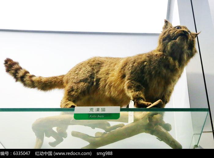 濒危动物荒漠猫标本图片