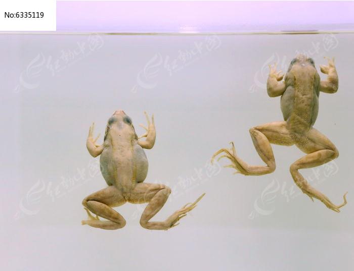 濒危动物昆俞林蛙标本