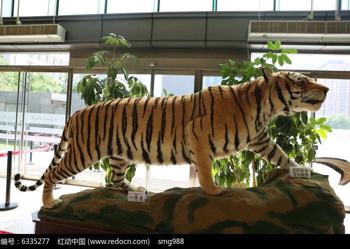 濒危动物老虎标本
