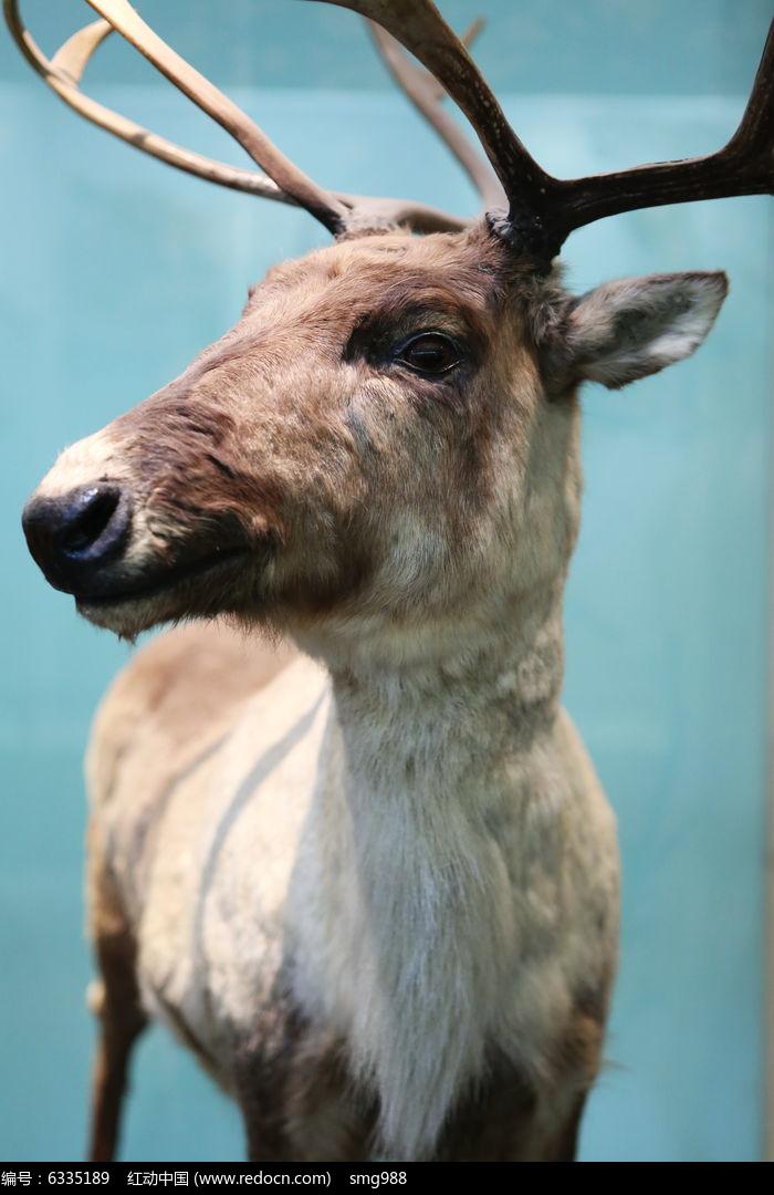 濒危动物麋鹿头部标本