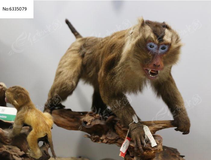 濒危动物豚尾猴标本图片