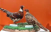 珍惜鸟类白颈长尾雉标本
