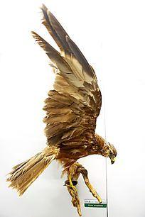 珍惜鸟类白头鹞标本