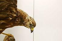 珍惜鸟类白头鹞的标本
