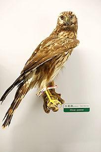 珍惜鸟类白尾雕标本