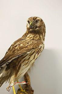 珍惜鸟类白尾雕的标本