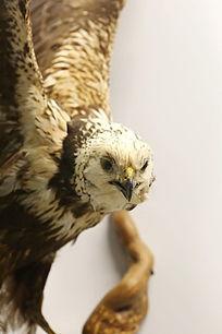 珍惜鸟类猛禽白头鹞标本