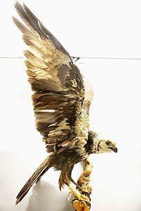 珍惜鸟类猛禽白头鹞的标本