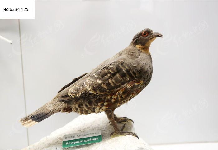 原创摄影图 动物植物 空中动物 珍惜鸟类四川雉鸡标本  请您分享