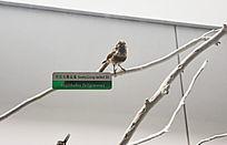 珍惜鸟类银脸长尾山雀标本