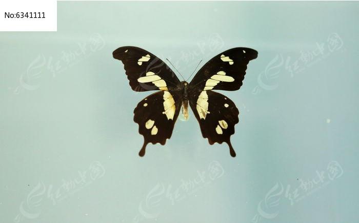 原创摄影图 动物植物 昆虫世界 蝴蝶标本钩翅翠凤蝶  请您分享: 素材