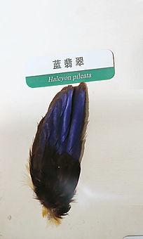 蓝翡翠羽毛