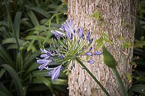 树干旁的一朵蓝色百子莲