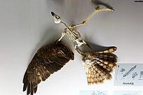 鹰骨架和羽毛
