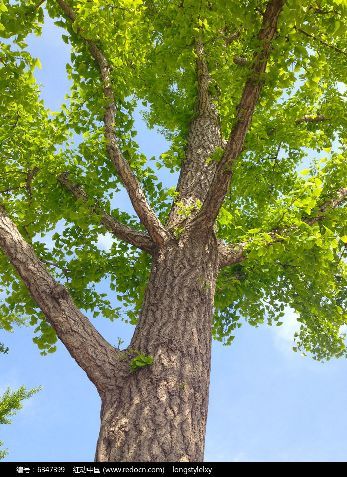 原创摄影图 动物植物 树木枝叶 银杏树  请您分享: 红动网提供树木