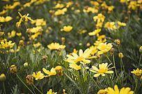 一片黄色的雏菊花海