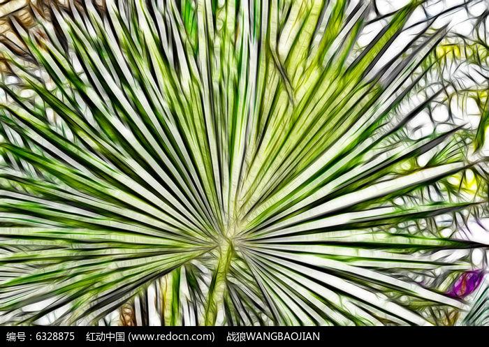 棕榈树蒲扇叶抽象叶图片