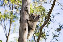 树上的树袋熊