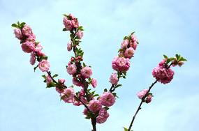 傲然怒放的桃花