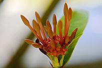 红色含苞的花朵