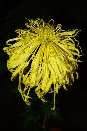 黄色的礼花菊