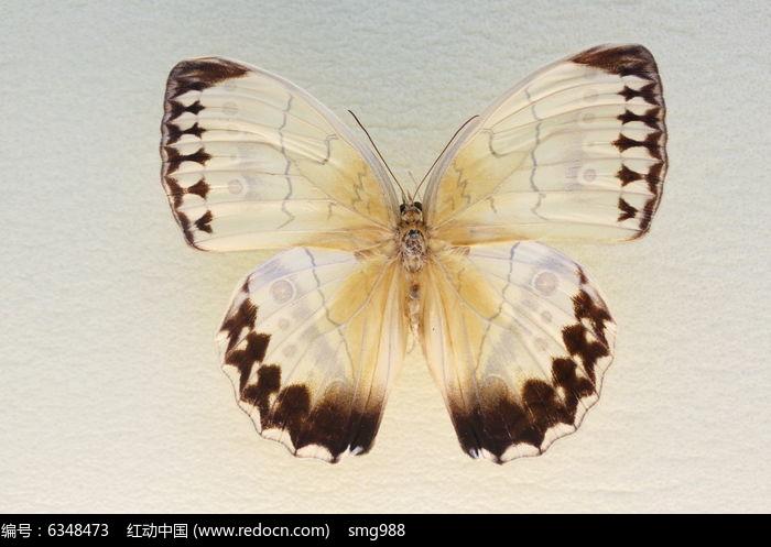 原创摄影图 动物植物 昆虫世界 剑环蝶蝴蝶标本