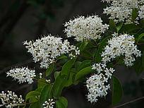 开满白花的小腊