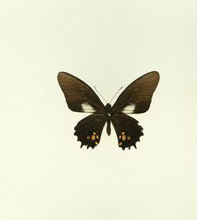 美洲蝴蝶黑凤蝶标本