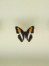 美洲蝴蝶喜悦悌蛱蝶标本