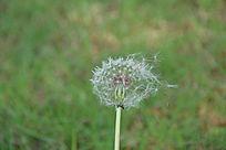 蒲公英植物