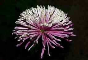 盛开的礼花菊