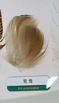 鸳鸯的羽毛