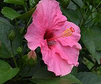 一朵盛开的嫩红色花朵