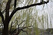 大柳树景观