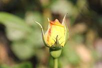 粉红花边黄花绿叶月季花蕾