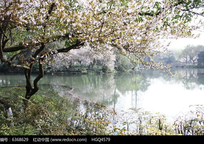河边的红叶李开花了图片