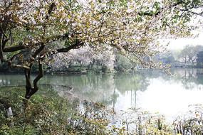河边的红叶李开花了