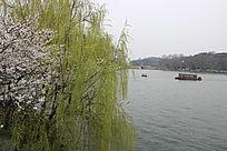 湖岸边的柳树